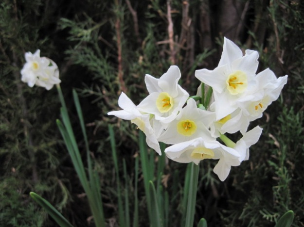 Jonquils and carbouy garden 002