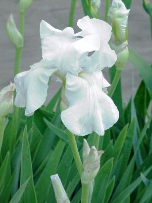 iris_white_0