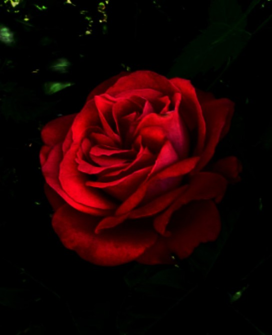 dramatic_red_rose_by_pinkrosebud-d46zkb2